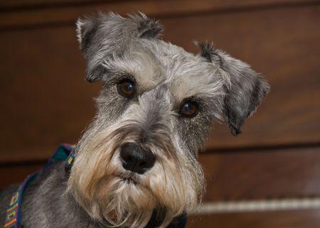 Curious Miniature Schnauzer dog photo
