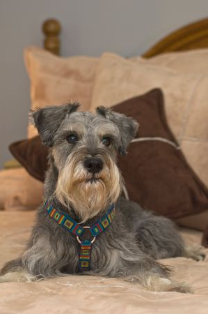 Pampered miniature schnauzer dog lays on a bed inside