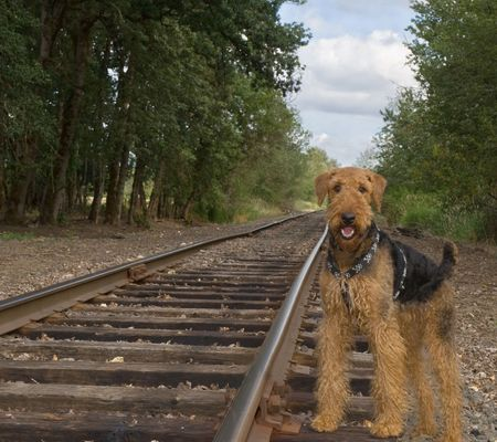 Airedale terrier dog standing by the rail road tracks photo