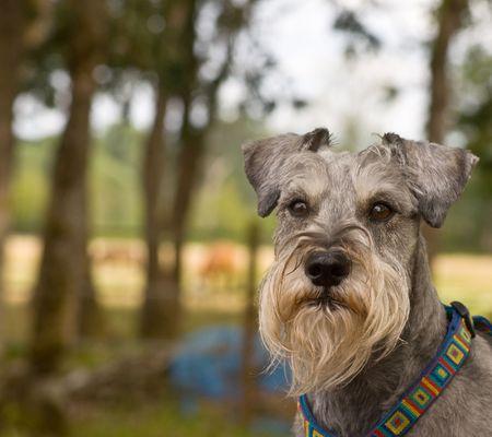 Miniature schnauzer dog in rural setting photo