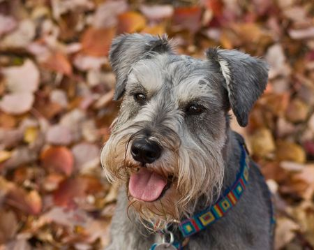 Miniature schnauzer dog sitting down in a pile of fall leaves photo