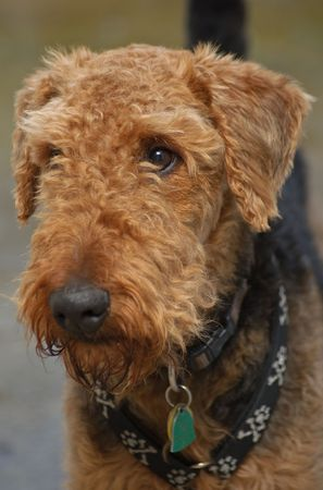 Brown airedale terrier dog close up in front of a neutral backgroun photo
