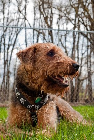 Airedale terrier dog outside on a spring day Stock Photo - 6681004