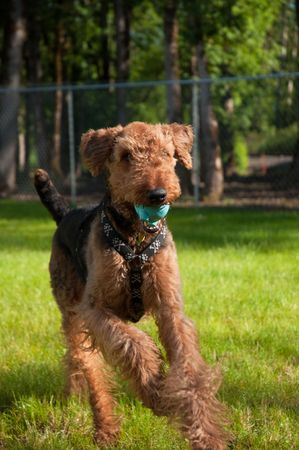retrieve: Airedale terrier running in the backyard with a blue ball in his mouth Stock Photo