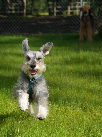 miniature dog: Playful gray miniature schnauzer dog running outside on a sunny day Stock Photo