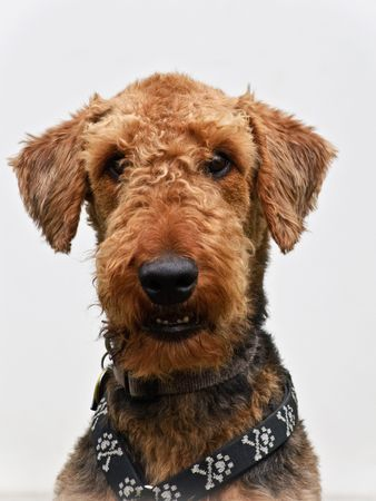 large dog: Airedale terrier dog portrait close up white background