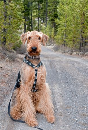 Airedale terrier dog sits on a gravel road with ponderosa pine tries in the background Stock Photo - 7169692