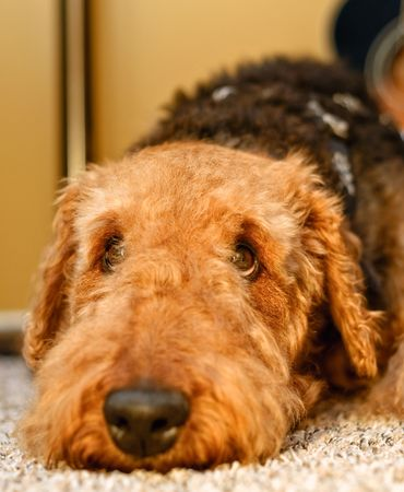Sad airedale terrier dog close up laying head down with eyes looking up photo