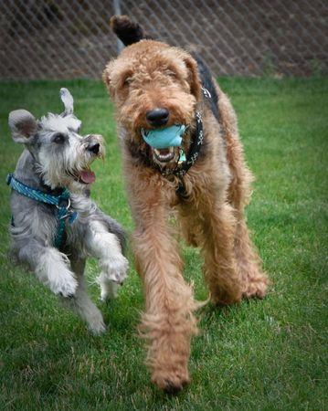 perros jugando: Schnauzer miniatura y airedale terrier saltan y jugar al aire libre  Foto de archivo