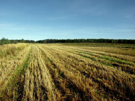 Field of Grain in Nice Autumn