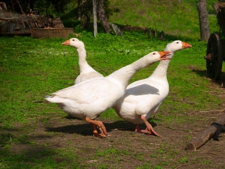 Three white gooses walking on the gras