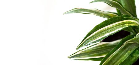 Stay home and gardening banner. Close up of green fresh dracaena Malaika flowers with water drops. Urban jungle interior concept. White background, copy space