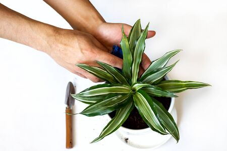 Stay home and gardening. Replanting dracaena flower in indoor garden. Potted green plants at home, urban jungle. Floral decor.