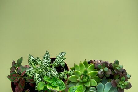 Banner nature. Fittonia, Hypoestes, succulents, cactus flower on green background. Copy space. Minimal. Urban jungle interior concept