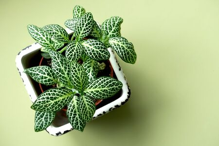 Banner nature. Fittonia flower in white pot on green background. Copy space. Minimal. Urban jungle interior concept.