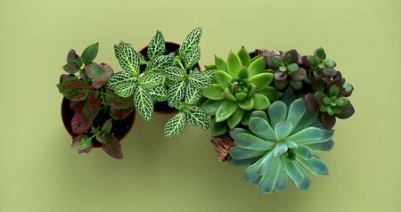 Banner nature. Fittonia, Hypoestes, succulents, cactus flower on green background. Minimal. Urban jungle interior concept.