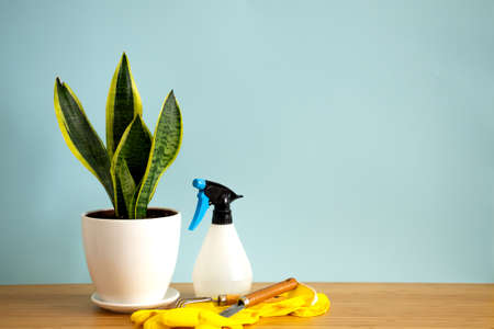 Mock up banner with copy space trending flower snake plant Sansevieria trifasciata on blue background. Summer indoor plants and urban jungle concept