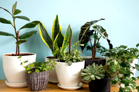 Indoor home garden plants. Collection various flowers - Snake plant, succulents, Ficus Pumila, lyrata, Hedera helix, Alocasia sanderiana. Stylish botany composition of home interior blue background Reklamní fotografie