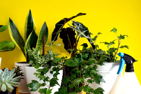 Indoor home garden plants. Collection various flowers - Snake plant, succulents, Ficus Pumila, lyrata, Hedera helix, Alocasia sanderiana. Stylish botany composition of home interior yellow background Reklamní fotografie