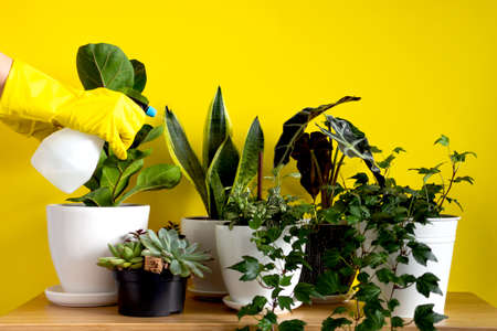 Womens hands in gardening gloves spray plants. Indoor home garden plants. Collection various flowers. Stylish botany composition of home interior yellow background