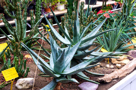 Cactus flowers and succulent flower group garden desert plant in greenhouse Reklamní fotografie