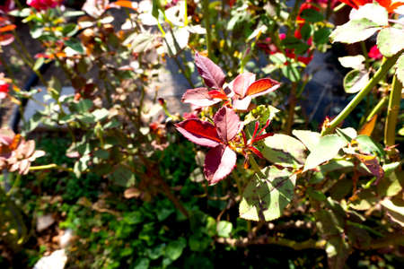 Garden flowers and leaves in the light of the sun background.Red and green leaves of autumn garden rose bushes.
