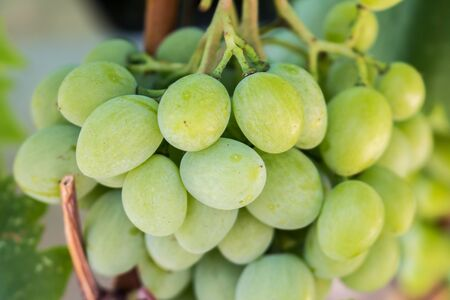 White wine bunched of grapes background in sunlight