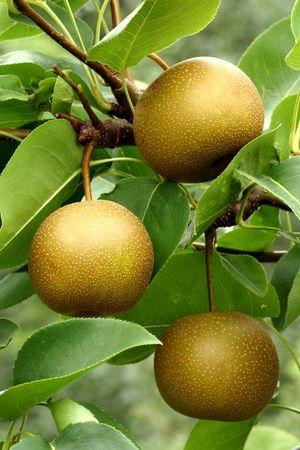 Three Asian pears (Pyrus pyrifolia) ripen on the tree Stock Photo