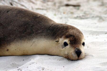 adelaide: An Australian sea lion (Neophoca cinerea) rests on a beach at seal Bay, Kangaroo Island, South Australia