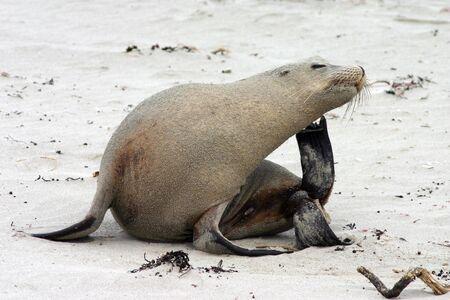 An Australian Sea Lion (Neophoca cinerea) scratches an itch at Seal Bay, Kangaroo Island, South Australia