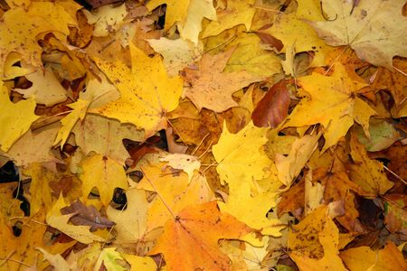 saccharum: Autumn leaves of sugar maple (Acer saccharum) carpet the forest floor Stock Photo