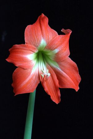 Flower of a dwarf amaryllis (Hippaestrum sp.) isolated against a black background