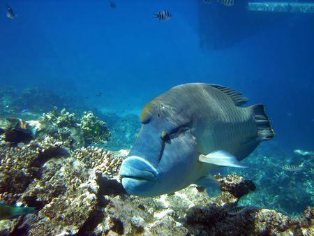 오스트레일리아 그레이트 바리 에르 (Great Barier Reef)의 험프 헤드 (Humphead)