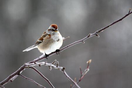 American tree sparrow (Spizella arborea) on a snowy day