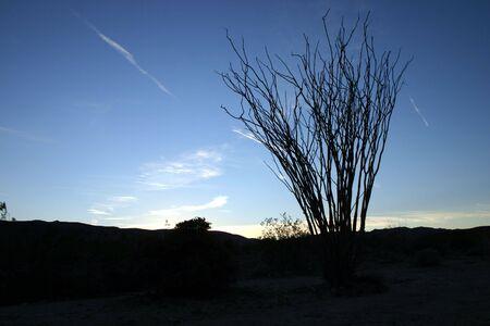 ocotillo: An ocotillo (Fouguieria splendens) is silhouetted at sunset against a blue sky in Anza-Borrega State Park, California Stock Photo