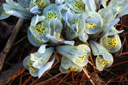 reticulata iris: Flowers of Iris reticulata cultivar Katherine Hodgkin in early spring dew Stock Photo