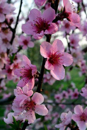 ネクタリン (モモ) の花を春先に開く 写真素材