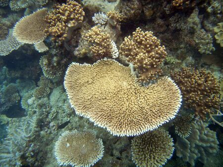 hard coral: Brown and white hard corals at the Great Barrier Reef, Australia                                                             Stock Photo