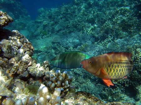 Pair of bridled parrotfish (Scarus frenatus) swims over the corals of the Great Barrier Reef, Australia Stock Photo - 4490505