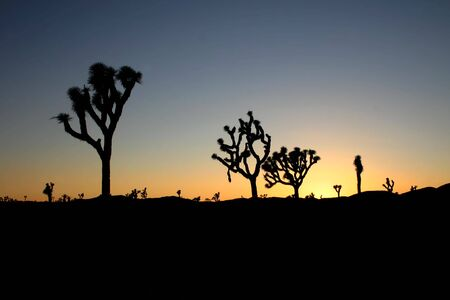Silhouettes of Joshua trees (Yucca brevifolia) at sunset in Joshua Tree National Park, California   photo