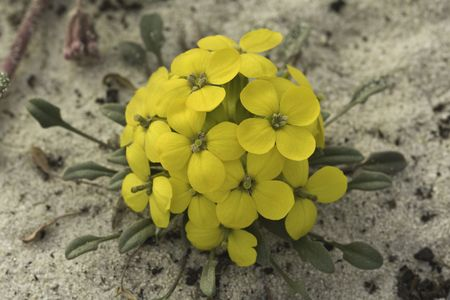 Menzies wallflower (Erysimum menziesii), one of the rarest plants in the world, grows on a sand dune in the California coast near Pacific Grove photo