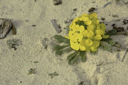 wallflower: Menzies wallflower (Erysimum menziesii), one of the rarest plants in the world, grows on a sand dune in the California coast near Pacific Grove Stock Photo