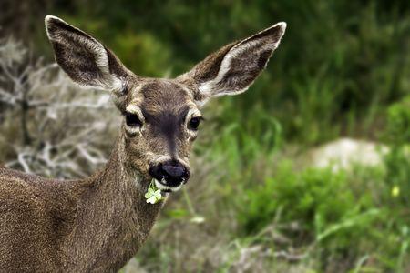 California mule deer (Odocoileus hemionus californicus) looks at the camera while eating in a coastal preserve near Pacific Grove, CA