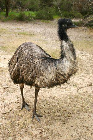 Emu (Dromaius novaehollandiae) adult at a farm on Kangaroo Island, South Australia