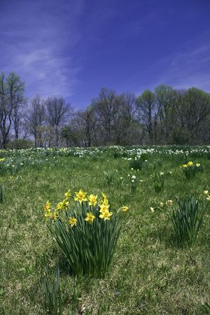 Yellow and white daffodils naturalized in a field with green grass and bright blue sky Stock Photo - 4951553