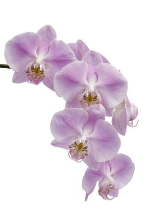 Many pink and white flowers of a  Phalaenopsis orchid hybrid isolated against a white background vertical photo