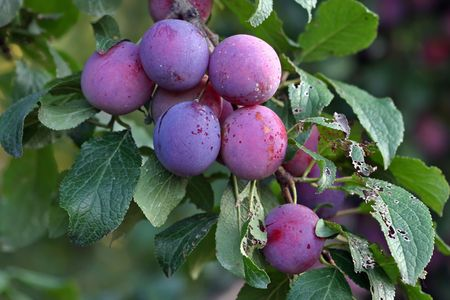 Purple fruits of a Stanley prune plum (Prunus domestica) ripen in the late summer sun on a tree in a home orchard
