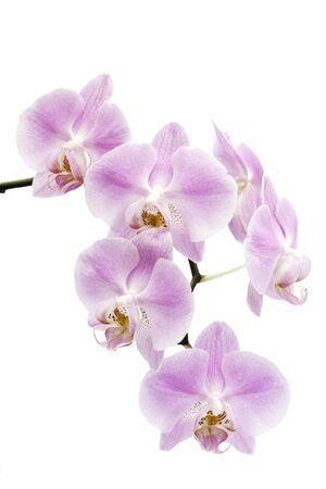 Many pink and white flowers of a  Phalaenopsis orchid hybrid isolated against a white background vertical Stock Photo
