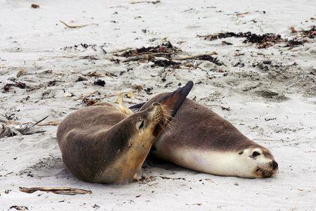 Pair of Australian sea lion (Neophoca cinerea) friends on a beach at Seal Bay, Kangaroo Island, South Australia Stock Photo - 5187242