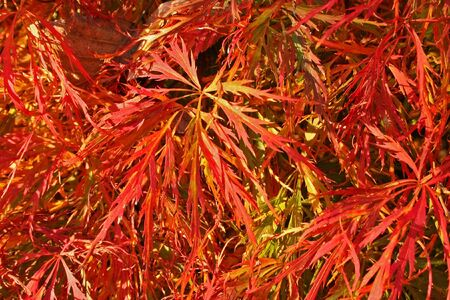 acer palmatum: Red leaves of a Japanese maple (Acer palmatum) glow under the light of an autumn sun